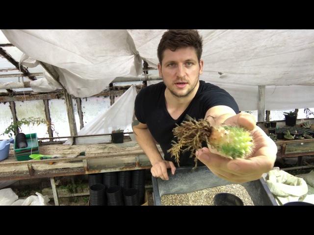 Как я пересаживаю кактусы в гравий