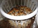 Как выращивать грибы в домашних условиях Часть 1