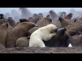 Polar Bear vs Walrus - Planet Earth - BBC Earth