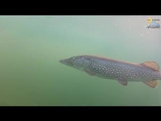 Под водой. Underwater camera carp fishing