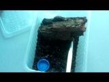 Не дружелюбный Acanthoscurria geniculata L7