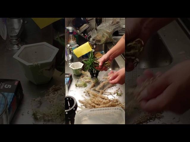 Neofinetia falcata repoting Traditional (remake)