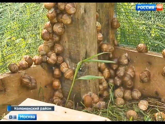 Вести Россия 1 Коломенские улитки ждут столичных рестораторов