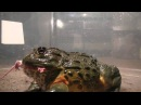Giant African Bullfrogs eating everything in sight including mice