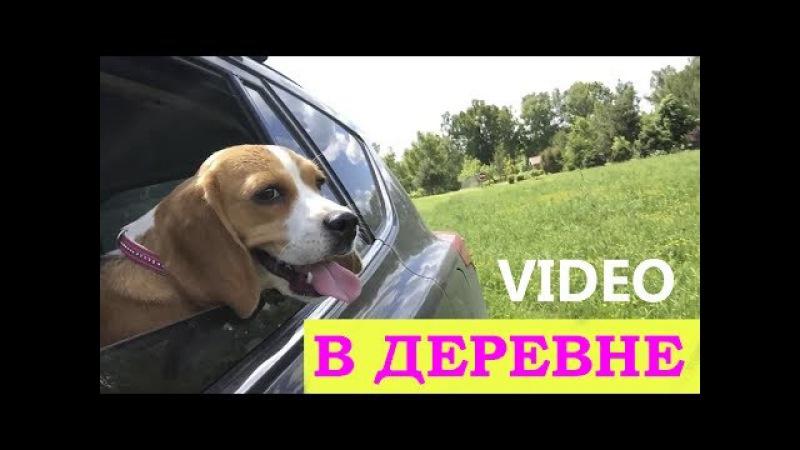 ПОЕЗДКА В ДЕРЕВНЮ/НОВЫЕ ДРУЗЬЯ/РЕЧКА/БИГЛЬ ДЖИНА лето 2017