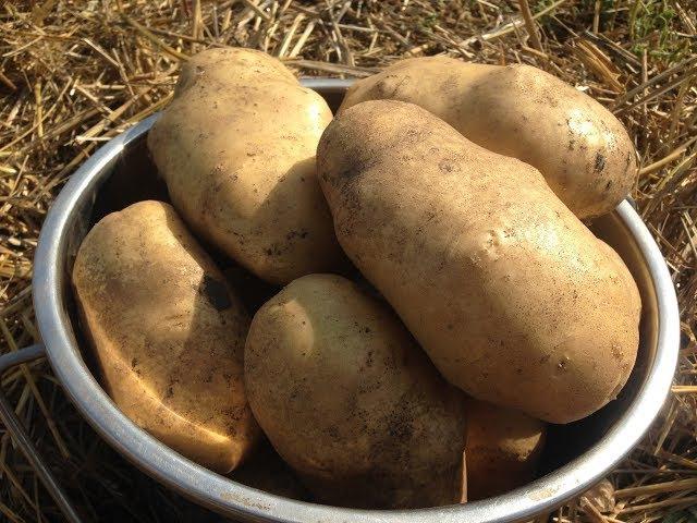 Как вырастить ведро картофеля с куста /Выращивание картофеля под соломой / Собир...