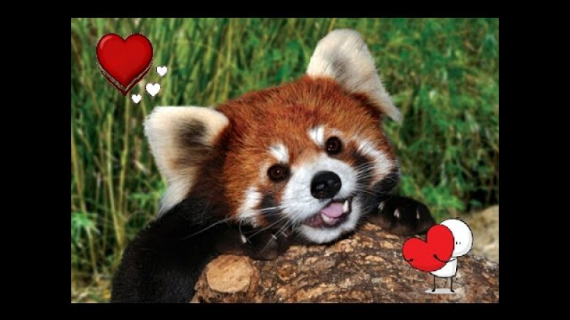 Red panda freaks out encountering a rock 😂😂❤👌