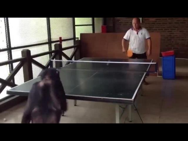 Chimpanzee Champion