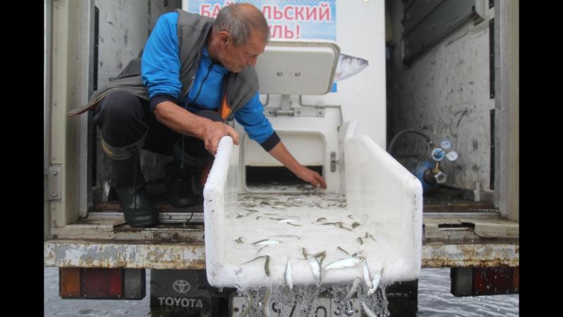 Сто пятьдесят тысяч мальков байкальского омуля выпустили в Усольском районе