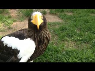 Орлан белоплечий - крупнейший хищник планеты. Animals fish