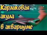 Карликовая акула в аквариуме! Акула в большом аквариуме с рыбами! Аквариумная ак...