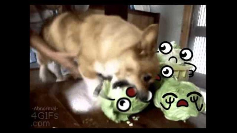 Капуста и собака