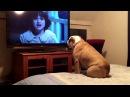 бульдог смотрит фильм ужасов Фильм называется Заклятие