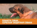 Сербская защитная собака. Планета собак 🌏 Моя Планета