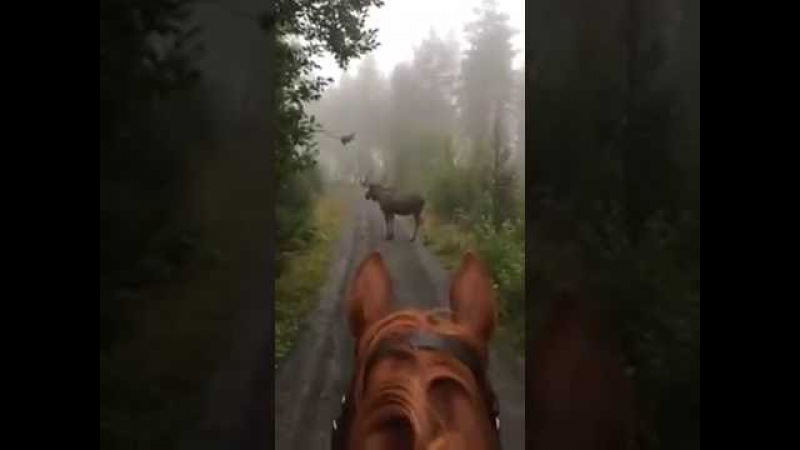 Horse rider runs into Moose in the Forest