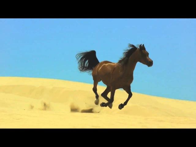 Лучшая порода лошадей в мир Арабские лошади безумно красивое видео