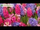 Уход за гиацинтом осенью весной и летом зимовка гиацинтов цветение и хранение