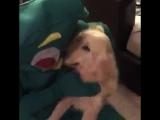 Парень оделся в костюм любимой игрушки своего собаки и это очень мило