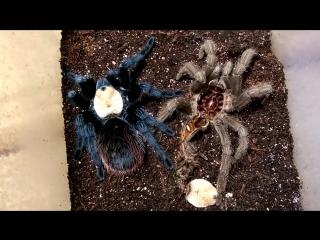 Нестандартная линька паука-птицееда - THE MOLT OF THE SPIDER TARANTULA.