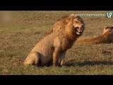 Хотите я вам расскажу как лев рычит?