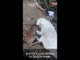 Пёс вытащил из воды тонущего олененка