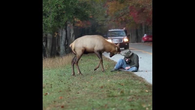 Этот фотограф сумел сохранить спокойствие, несмотря на нападение на него молодого самца лося 😮🦌