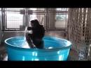 Зажигательный танец гориллы в бассейне. Горилла танцует в бассейне
