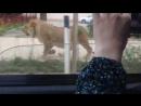 Лев в Махачкале