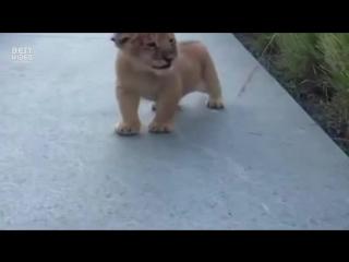 Хотите я вам расскажу как лев рычит
