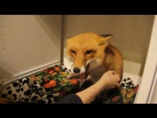 Милая агрессия лисы