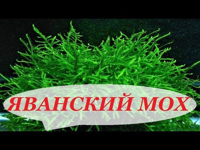 Яванский мох в аквариуме. Посадка, выращивание, разведение, как прикрепить на коряге, задней стенке.