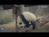 Panda mania hits Germany! Furry bears arrive in Berlin