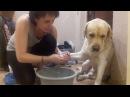 Лабрадор не хочет мыть лапы