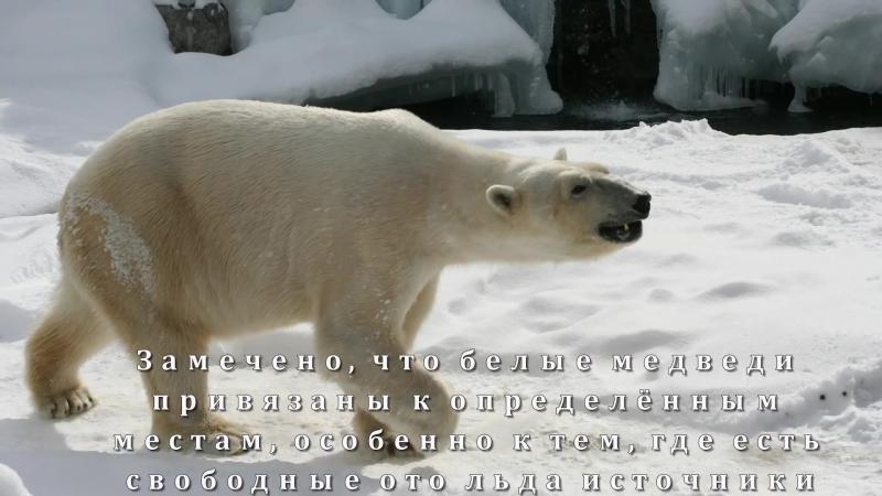 Где живут белые медведи؟ Развивающая презентация для детей 1 класса