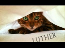 LUTHER... (MY SISTERS BENGAL CAT!)