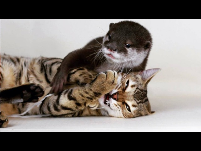 Sam The Bengal Cat Pip The Otter