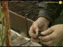 Выкопка гладиолусов
