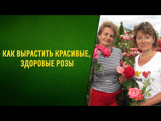 Советы профессионала как вырастить красивые здоровые розы Натуральный стимулятор для роз