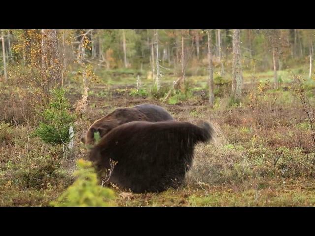 Fighting brown bears