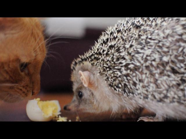 Мой ушастый еж, My Long-eared Hedgehog