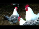 Alte Nutztierrassen Folge 101 Ostfriesische Möwen Hühner, Film Sprenkelhühner, frisian gull chicken