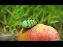 Minuscule - Love Apple / Pomme d'Amour (saison 2)