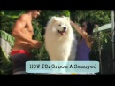 How To Groom A Samoyed step by step