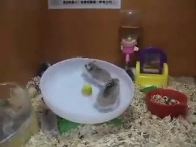 2 Hamsters 1 Wheel - Dance!