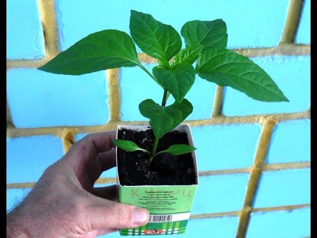 Как я выращиваю рассаду перцев