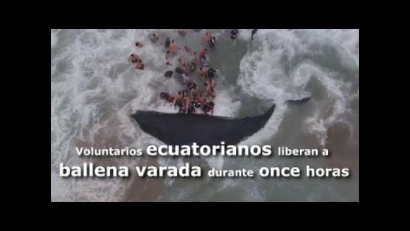 Voluntarios ecuatorianos liberan a ballena varada durante once horas