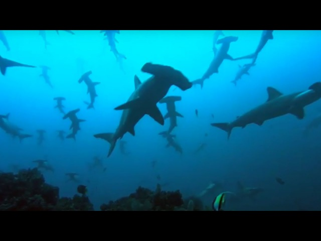 Тысячи Акул Thousands Of Sharks Visit A Sea Mount Blue Planet Голубая Планета BBC Earth