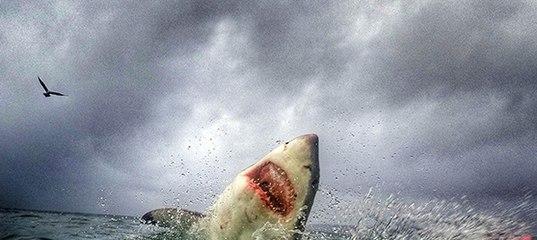странице в хургаде белая акула напала на человека грамотно все сделать