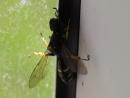 Бестолковая оса залетела в дом и ползет по окну MAH01112