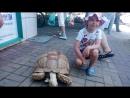 Морская черепаха трескает огурцы